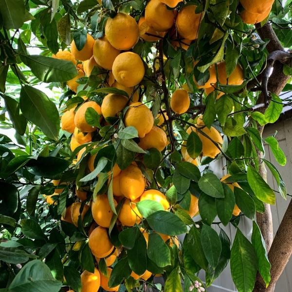 Limones Meyer I Aventuras en la cocina